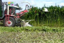 Harvesting cannabis / Machinaal hennep oogsten