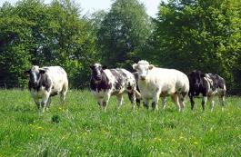 Dossier Vleesveehouderij